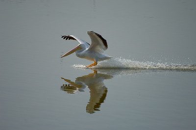 Water skiing, pelican-style