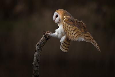 Barn owl Kees