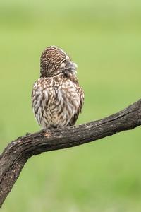 The cutest little owl
