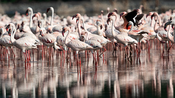 Flamingos of Lake Bogoria