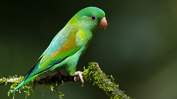 Parrrots of Costa Rica