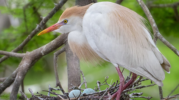 Cattle Egrets