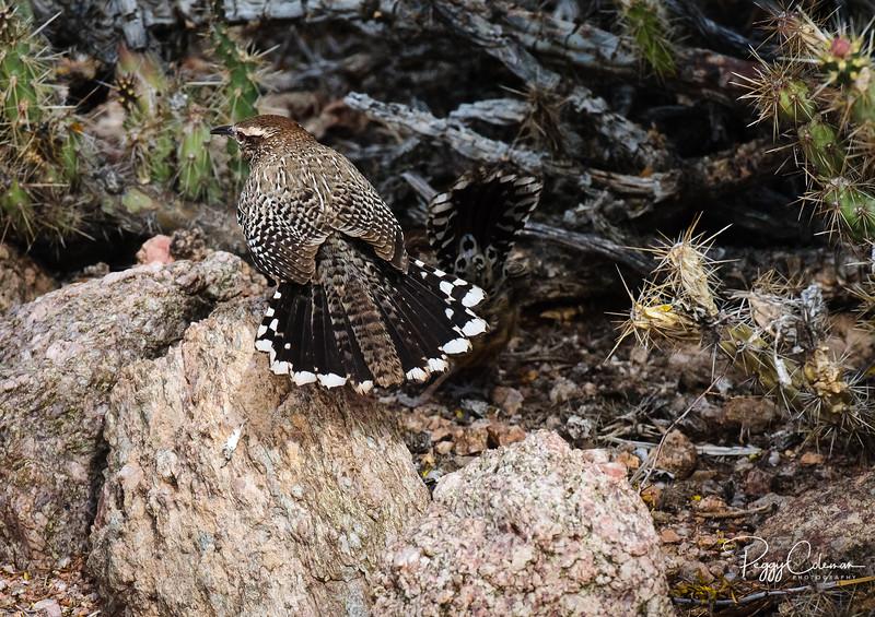 Cactus Wren struts his stuff in the Arizona desert!