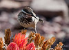 CW--My Buddy : CW--My Buddy, the Arizona State Bird, the Cactus Wren