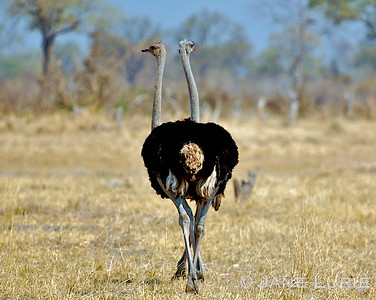 The incredible two-headed Ostrich (just kidding-- a fun, lucky shot!) Botswana.