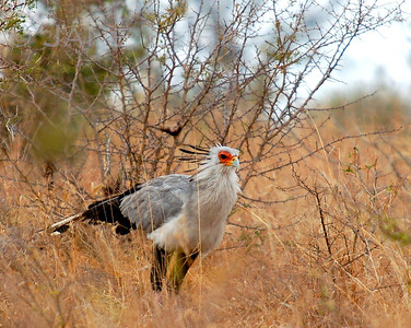 The amazing Secretary Bird. We came upon this huge bird, which got his  name from what looks like pencils stuck in the hair on his head.  He was feasting on an Adder snake, of which I couldn't get a good shot, but it was awesome.