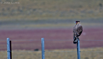 The beautiful Caracara bird near El Chalten, Argentina.