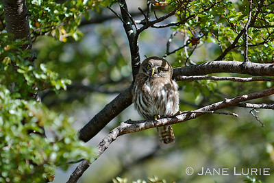 While hiking in Torres Del Paine National Park in Chile, I heard a gentle calling,  and here was this sweet little owl watching me from the tree.
