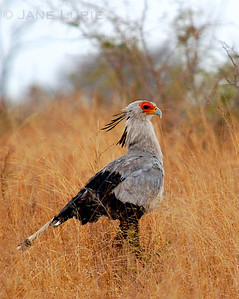 The incredible Secretary Bird. This is one huge bird! Botswana.
