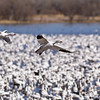 Snow Geese, Chen caerulescens, at Bosque del Apache National Wildlife Refuge. At Bosque, tens of thousands of birds--including sandhill cranes, Arctic geese, and many kinds of ducks--gather each autumn and stay through the winter. Feeding snow geese erupt in explosions of wings when frightened by a stalking coyote, and at dusk, flight after flight of geese and cranes return to roost in the marshes.