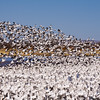 "Snow Geese, Chen caerulescens, at Bosque del Apache National Wildlife Refuge. At Bosque, tens of thousands of birds--including Snow geese, Sandhill Cranes, and many kinds of ducks--gather each autumn and stay through the winter. Feeding snow geese erupt in ""explosions"" of wings in flight when frightened, and at dusk, flight after flight of geese and cranes return to roost in the marshes."