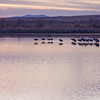 Sandhill Cranes, Grus canadensis, at Sunrise at Bosque del Apache National Wildlife Refuge in New Mexico.