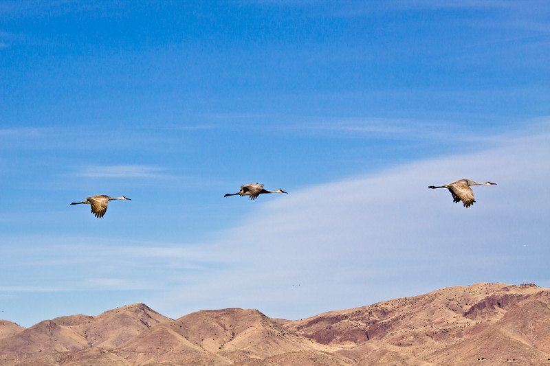 Sandhill Cranes, Grus canadensis, in early morning light at Bosque del Apache National Wildlife Refuge in New Mexico.
