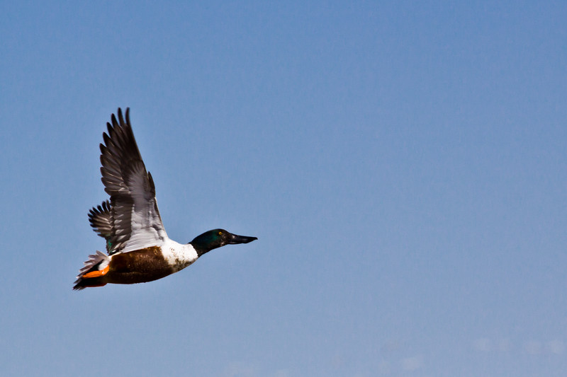 Northern Shoveler duck, Anas clypeata, at Bosque del Apache National Wildlife Refuge in New Mexico.