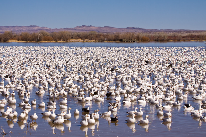 """Snow Geese, Chen caerulescens, at Bosque del Apache National Wildlife Refuge. At Bosque, tens of thousands of birds--including Snow geese, Sandhill Cranes, and many kinds of ducks--gather each autumn and stay through the winter. Feeding snow geese erupt in """"explosions"""" of wings in flight when frightened, and at dusk, flight after flight of geese and cranes return to roost in the marshes."""