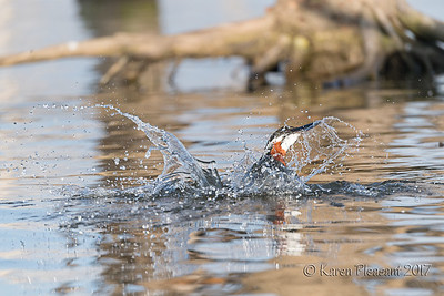 Giant Kingfisher - Surfacing