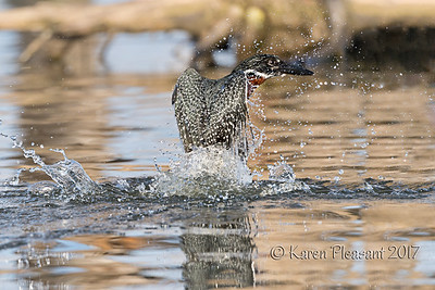 Giant Kingfisher rises!