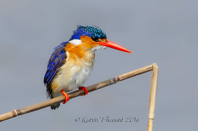 Malachite Kingfisher, Botswana
