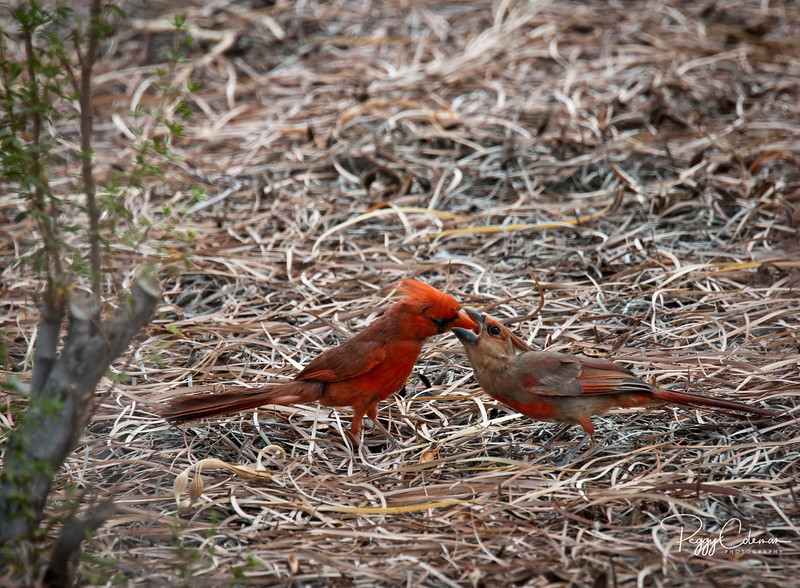 Male Cardinal feeds his hungry juvenile, male Cardinal.
