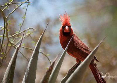 Northern Cardinal--Male