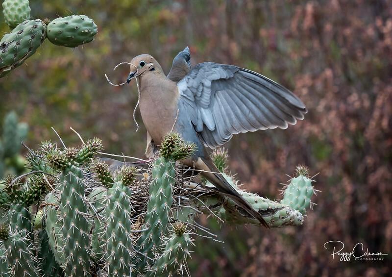 Nestbuilding 101, Mourning Dove