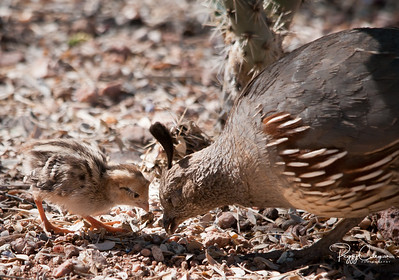 Gamble's Quail Chick and Mom