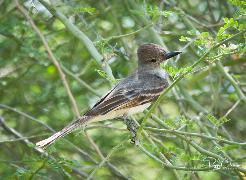 Flycatcher, Brown-crested or Ash-throated