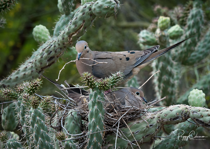 Nest Building 101 with the Mourning Doves