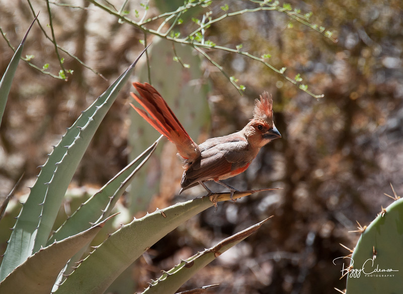 Northern Cardinal--Male Juvenile