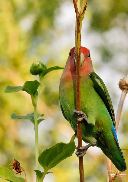 """""""Can you see me, now?"""" The Peach-faced Lovebird"""