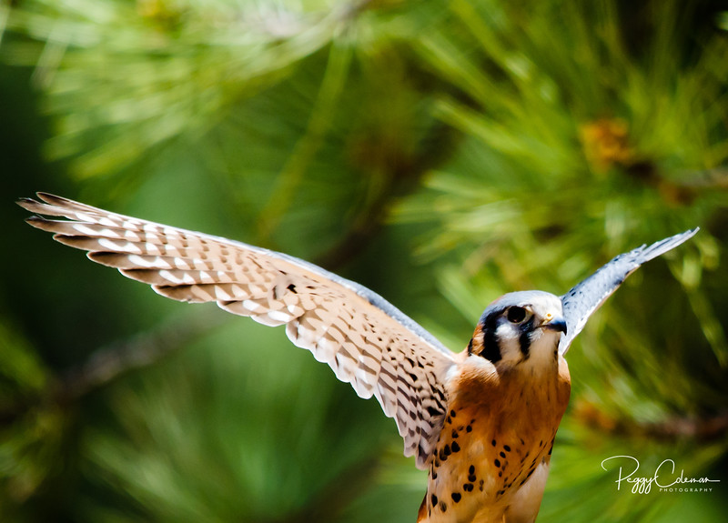 Kestral, in the Pines
