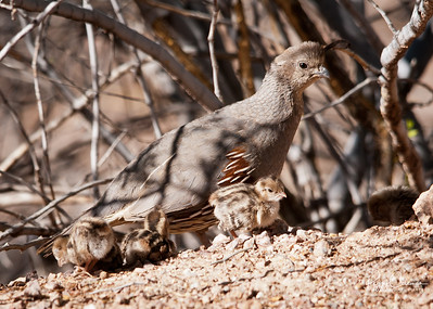 Gambel's Quail, Chicks and Mom