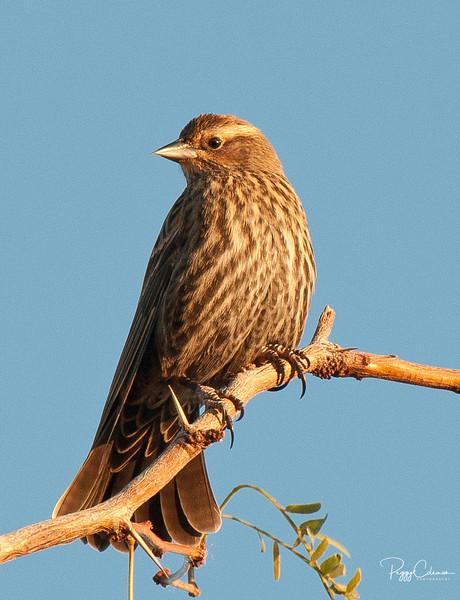 Red-winged Blackbird--female