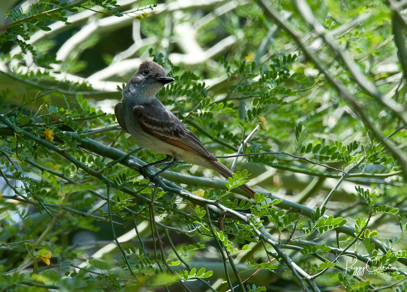 Flycatcher--most likely Ash-Throated.
