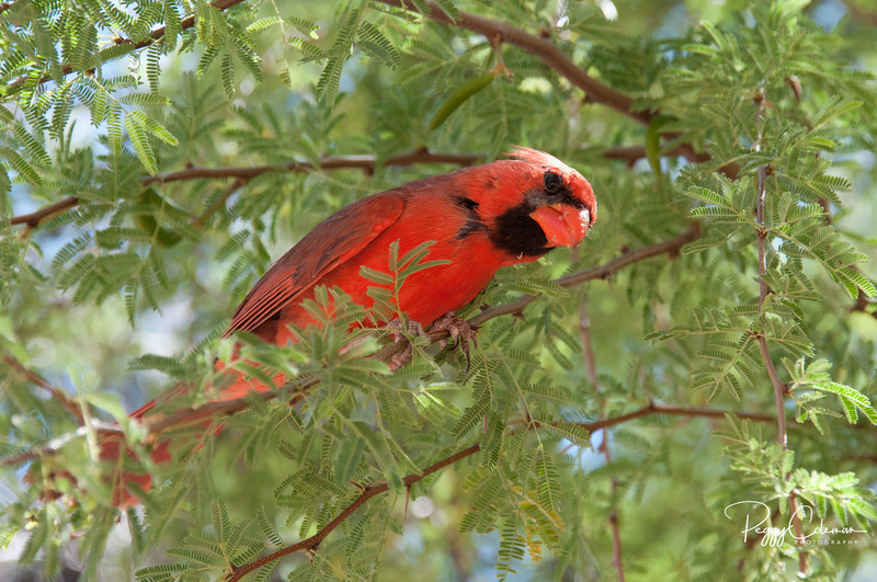 Northern Cardinal...that really should be a WESTERN Cardinal...out West!
