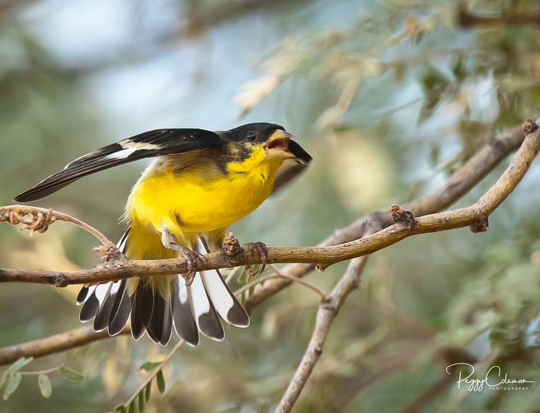 Lesser Goldfinch--Male