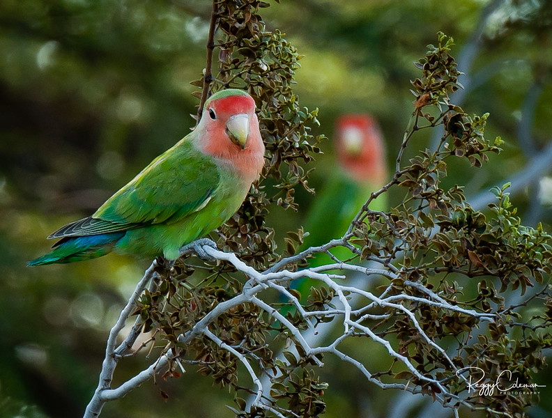 Peach-faced Lovebirds