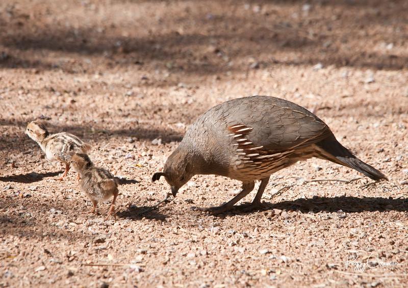 Gambel's Quail Chicks and Mom