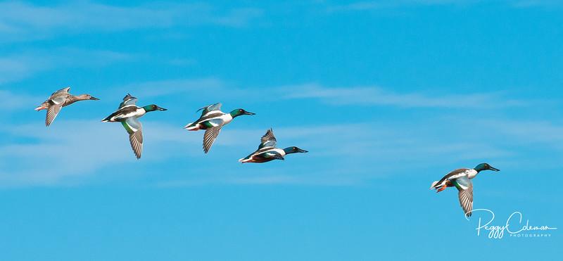 Mallard Fly-by