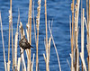 Red-winged Blackbird--Female
