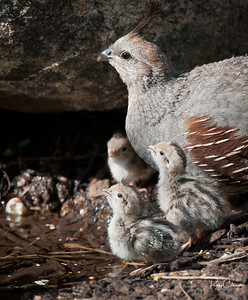 Gambel's Quail Chicks and Mom