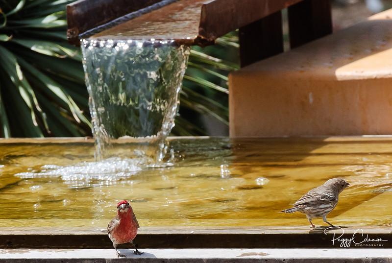 House Finch enjoying a cool dip!