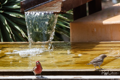 House Finch enjoying a cool dip!