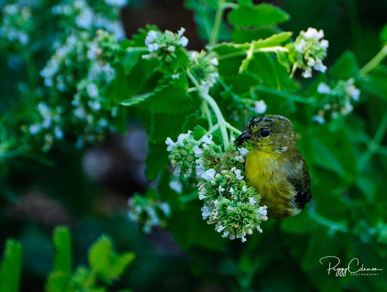 Lesser Goldfinch--Female