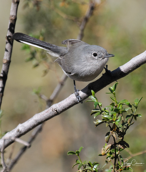 Black-tailed Gnat Catcher