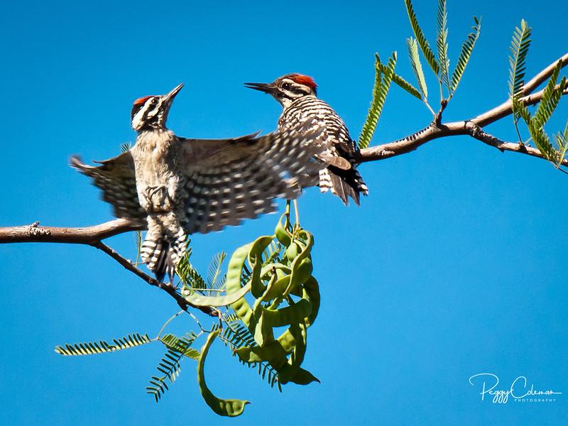 Ladderback Woodpeckers