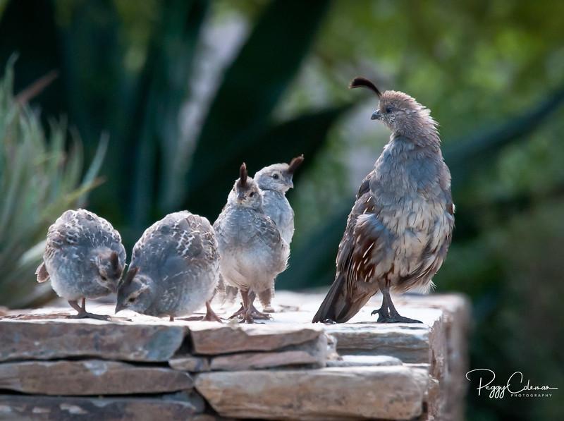 Gambel's Quail Family