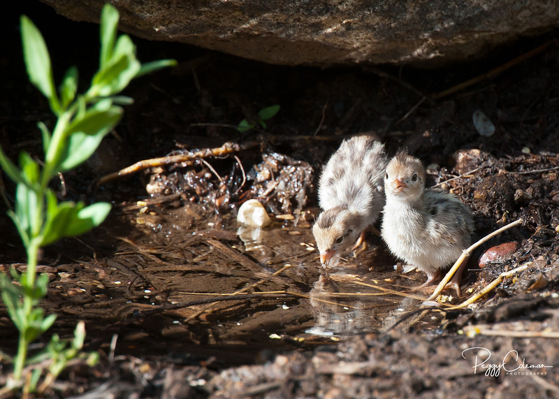 Gamble's Quail Chicks