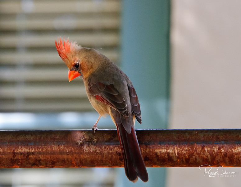 Northern Cardinal--Female