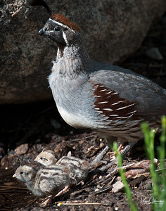 Gambel's Quail Chicks and Dad